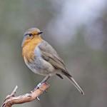 Las aves anaranjadas fueron más afectadas por la radiactividad de Chernóbil