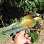 SEO/Birdlife estudia la migración de las aves gracias al GPS