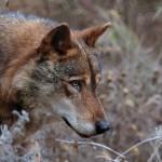 La protección del lobo ibérico en peligro