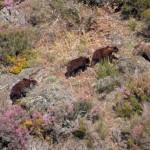 Medio Ambiente mejorará el paso para que los osos salven la autopista del Huerna