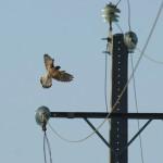 Las mejoras en los tendidos reducen un 80% las muertes de aves en España