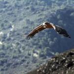 El patrón de vuelo del buitre leonado puede reducir sus colisiones en parques eólicos