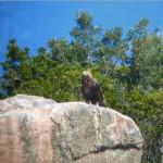 Lince y águila imperial son dos casos de éxito en la historia de la conservación de la naturaleza en España