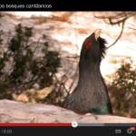 El gran gallo de los bosques cantábricos