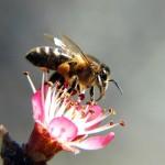 La UE apoya la prohibición parcial de los plaguicidas tóxicos para las abejas
