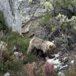 Restauración de zonas mineras degradadas para mejorar el hábitat del oso pardo
