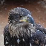 El águila imperial avanza en su recuperación y supera las 400 parejas en la Península Ibérica