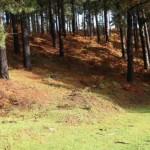 ¿Es posible la restauración del bosque autóctono en pinares de plantación?