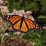 SIG y participación ciudadana para conservar la mariposa monarca