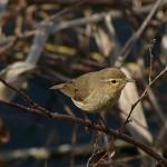 Aves insectívoras como alternativa a los plaguicidas