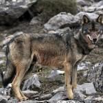Ecoturismo para reconciliar a ganaderos y lobos