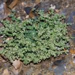 Descubren una planta que podría usarse para descontaminar suelos