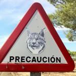 Un millón de euros para reducir el riesgo de atropello del lince ibérico