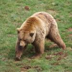 La Comisión para Patrimonio Natural y la Biodiversidad actualiza la estrategia de conservación del oso pardo
