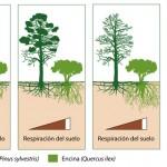 ¿Cómo afecta a la respiración del suelo la sustitución de pinares por encinares?
