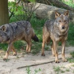 Andalucía coordinará un nuevo Proyecto Life para la recuperación del lobo ibérico