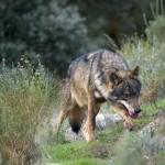 El lobo dejará de ser especie cinegética en Cantabria