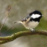 Las aves habitan menos los pinares reforestados que los naturales