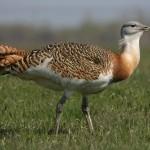 El aumento de los tendidos eléctricos modifica el comportamiento migratorio de las aves