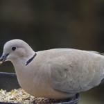 Los ecosistemas urbanos están acelerando los procesos evolutivos de algunas especies de aves