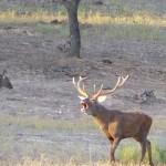 La sequía acorta la berrea del ciervo