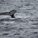 Los cetáceos tienen ya su propia área marina protegida en el Mediterráneo