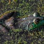 La rana toro: una de las especies más nocivas que ya se reproduce en España