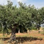 Los olivares mediterráneos, refugio para un cuarto de las aves de España