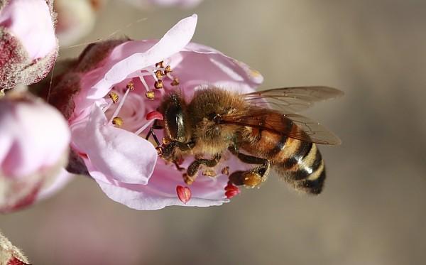 España aborda un Plan para evitar el alarmante declive de las abejas
