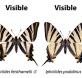 nueva especie de mariposa
