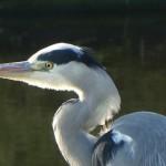 La Laguna de la EDAR de Medina del Campo ha atraído a una de cada cinco especies de aves que viven en España