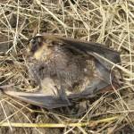 Murciélagos, aerogeneradores, y la importancia de seguir investigando
