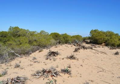 Dunes_de_Guardamar_del_Segura_duna