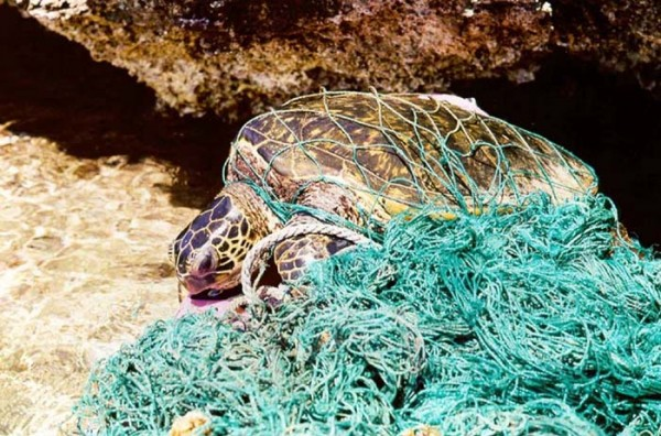 Turtle_entangled_in_marine_debris_(ghost_net)