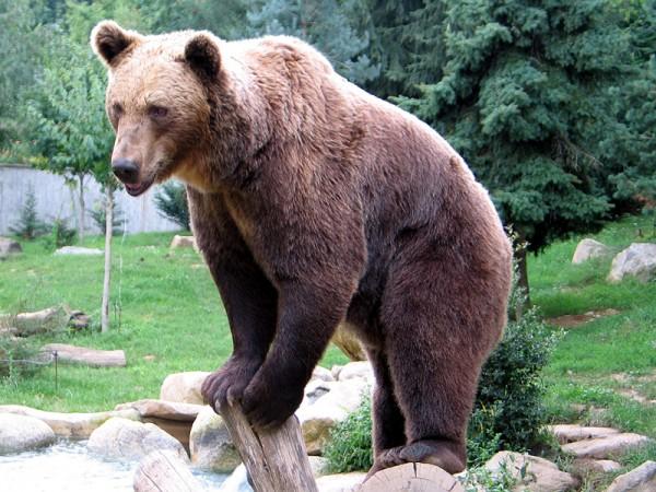 oso pardo iberico