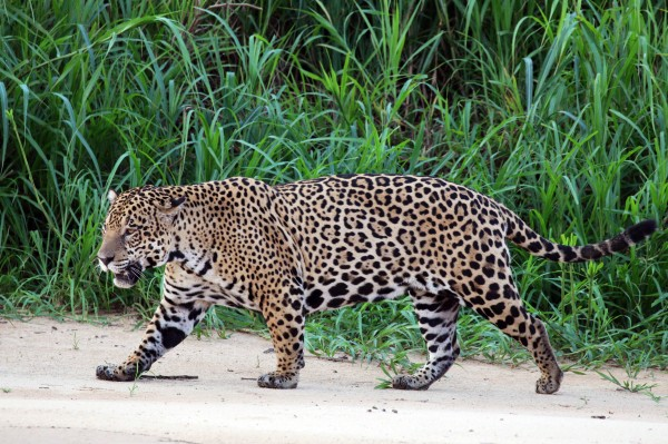 Jaguar_(Panthera_onca_palustris)_male_Three_Brothers_River