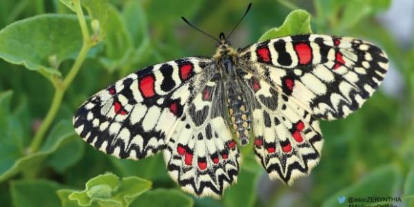 mariposa-arlequín
