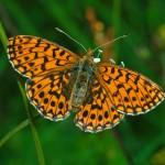 La extensión del matorral amenaza a las mariposas de los Picos de Europa