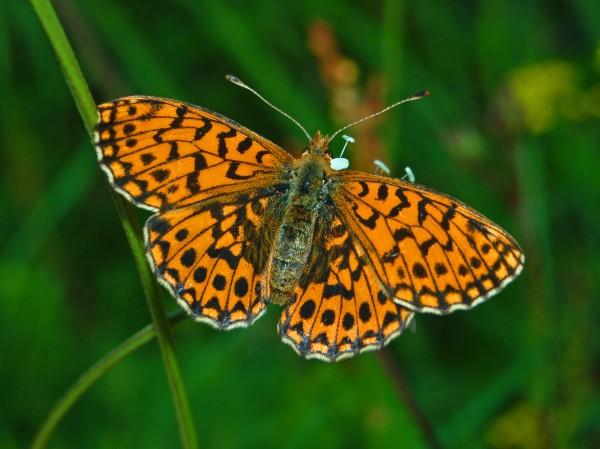 Nymphalidae_-_Boloria_(Clossiana)_dia
