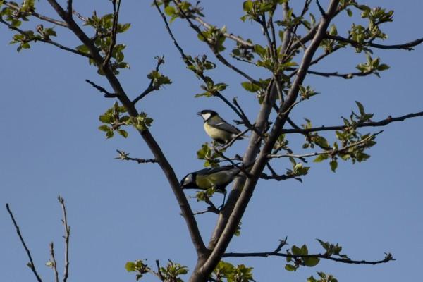 Pájaro carbonero