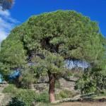 El cambio climático ralentizará hasta un 75 % el crecimiento de los bosques de pino carrasco