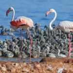 Los flamencos crían por primera vez en 37 años en la laguna de Torrevieja