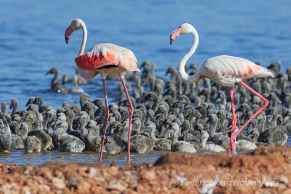 La laguna de Torrevieja acoge 1.500 ejemplares adultos de flamenco y han anidado esta primavera por primera vez en 37 años. FEDERICO KENZELMANN/JOAQUÍN CARRIÓN