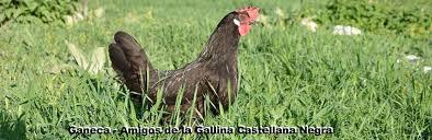 La Escuela de Alcaldes con las gallinas castellanas negras