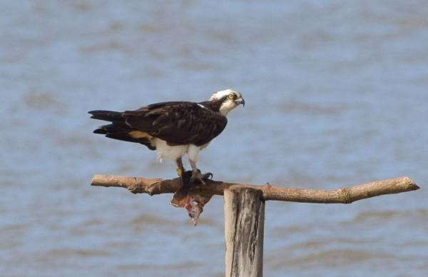 El Águila pescadora en la Bahía de Santander