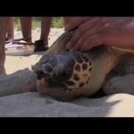 La tortuga cabezona o boba resiste en el Mediterráneo pese a las amenazas