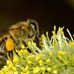 El primer atlas de especies de abejas del mundo sale a la luz