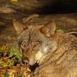 El borrador de la Estrategia para la Conservación y Gestión del Lobo propone su inclusión en el listado de Protección Especial