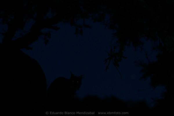 Iberian lynx (Lynx pardina) Sierra de Andujar