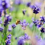Microplásticos en el cuerpo de las abejas